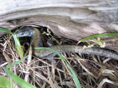 Alligator Lizard May 2012