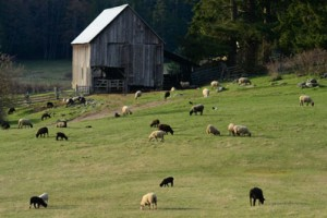 Ruckle Farm and Sheep