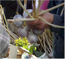 duck_creek_farm_garlic