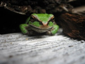 Pacific Chorus Tree Frog in a woodpile...