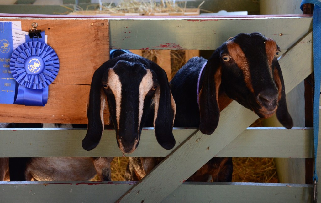 Goats at the 2014 Salt Spring Island Fall Fair