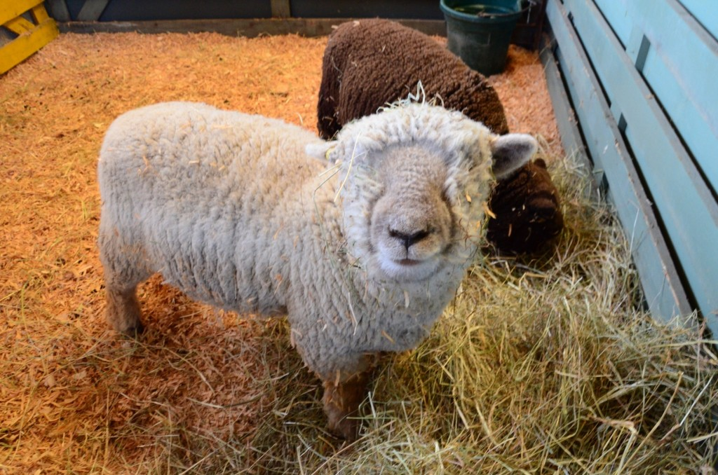 Sheep at the 2014 Salt Spring Island Fall Fair