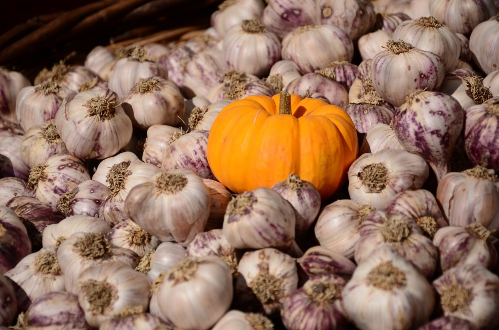 Pumpkin among garlic at the 2014 Salt Spring Island Fall Fair
