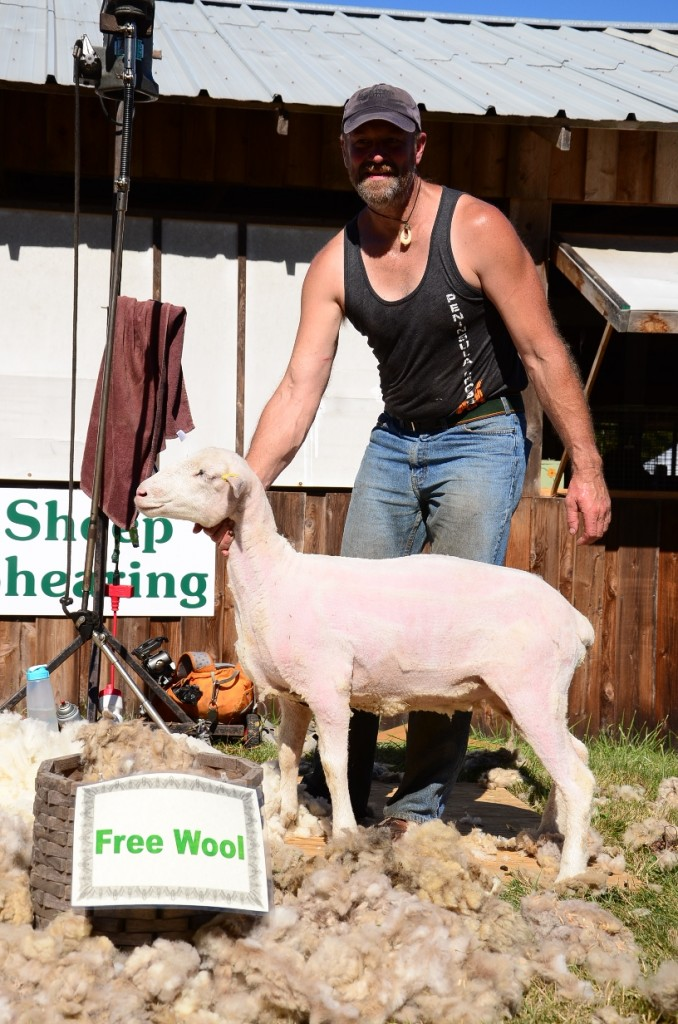 Sheep Shearing at the 2014 Salt Spring Island Fall Fair