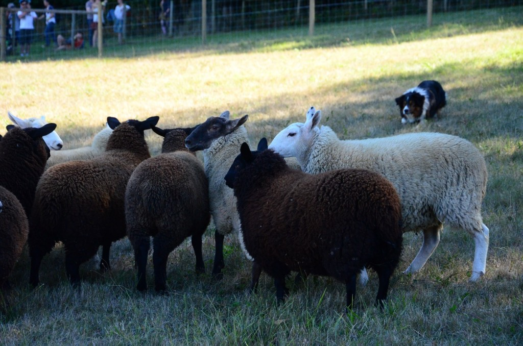 Sheepdog Demonstration at the 2014 Salt Spring Island Fall Fair