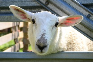 Ruckle Farm Day 2015: Sheep