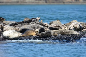 Seals in Active Pass