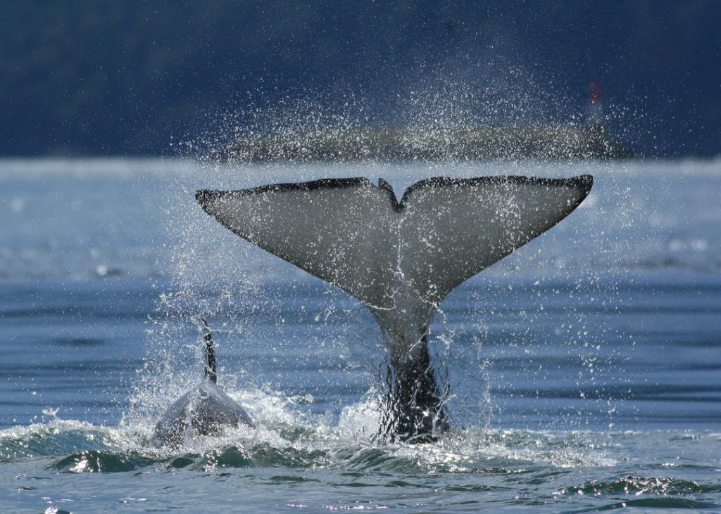 Orca-Flukes-Mom-and-Baby-to-Burial-Island